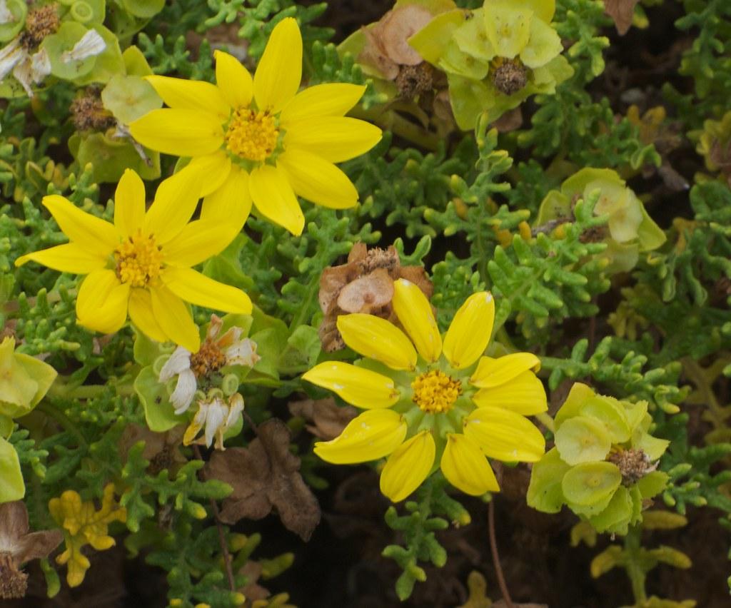 Floreana Daisy Aka Cutleaf Daisy Lecocarpus