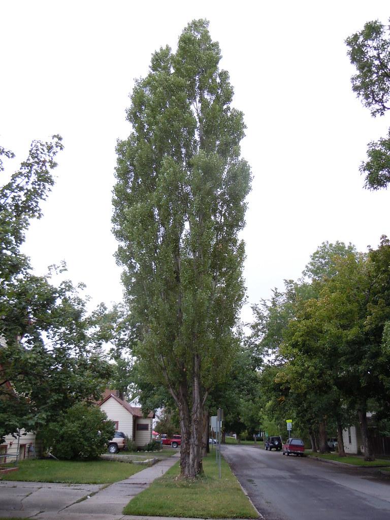 P. x canadensis = Populus nigra x Populus deltoides | Flickr