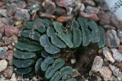 asphodelaceae a distinct family from other Plants belonging to the genus 'aloe' aloe : aloe is a very popular genus of succulent with over 300 species occuring naturally in africa, madagascar, and arabia more plants of the asphodelaceae family tell your friends about this page.