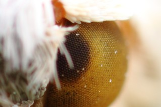 White moth, short DOF, compound eye preserve crop | by Gustavo Mazzarollo