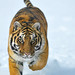 tiger_andyrouse_AA006711A_00035