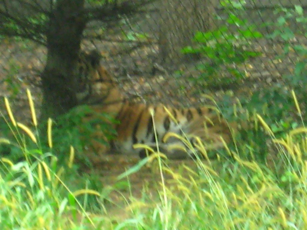 Hidden tiger... | Pahz | Flickr