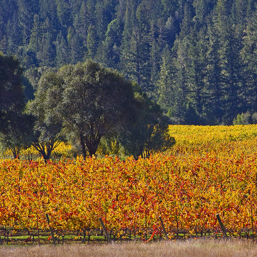 Brilliant Harvest, Anderson Valley | by Rita Crane Photography