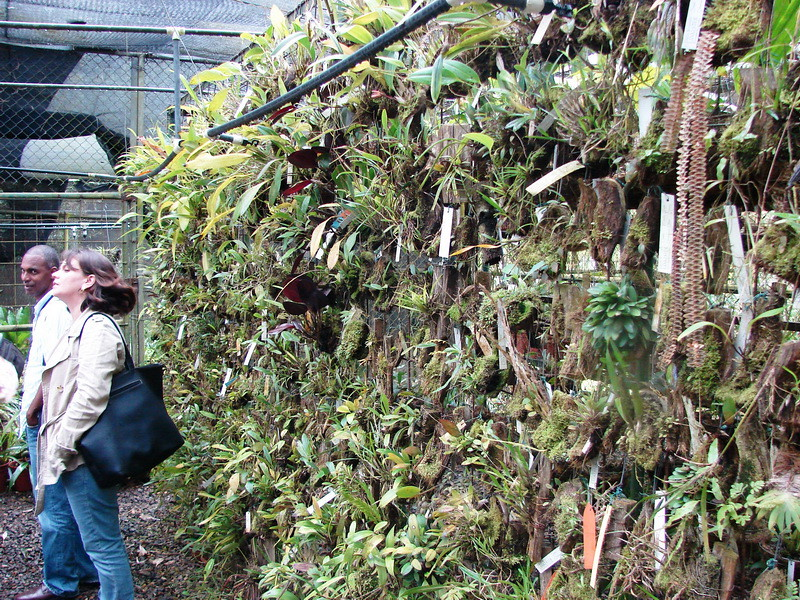 Orchidaceae jard n bot nico lankester jard n bot nico for Jardin botanico vina