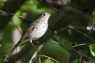 Gray-cheeked Thrush. | by Kelly Colgan Azar