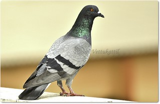 Blue Rock Pigeon | by Prasad Vettukattil
