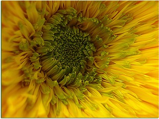 Only an other sunflower | by serafini marisa