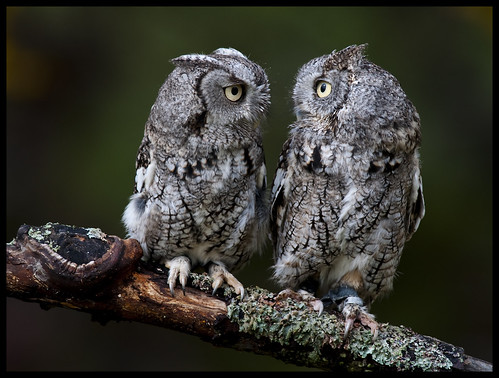 Eastern Screech Owls 6 | by Jen St. Louis