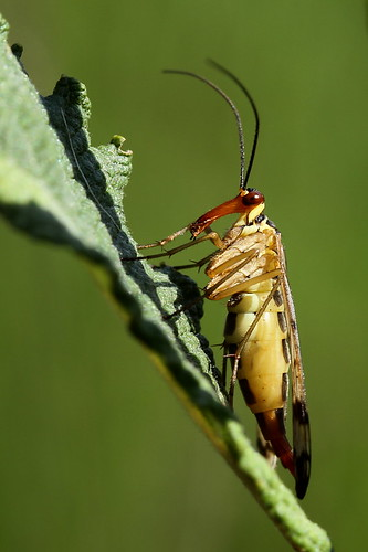 Scorpionfly female (Panorpa communis) | by Gertj123