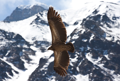 Himalayan Griffon Vulture | by escher is still alive