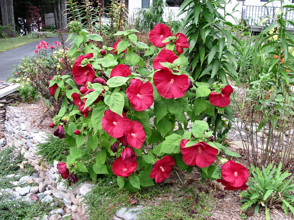 luna red hibiscus hibiscus moscheutos 39 luna red 39 planted. Black Bedroom Furniture Sets. Home Design Ideas