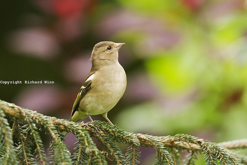 Chaffinch on PIne | by Kernuak (avalonlightphotoart.co.uk)