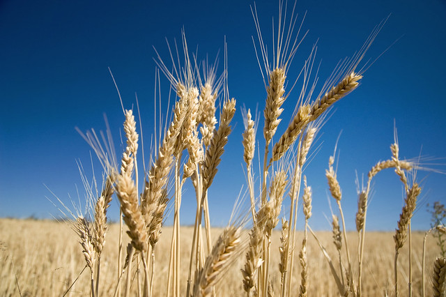 Golden wheat stalks   Flickr - Photo Sharing!