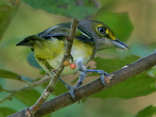 White-eyed Vireo 3-20100926 | by Kenneth Cole Schneider