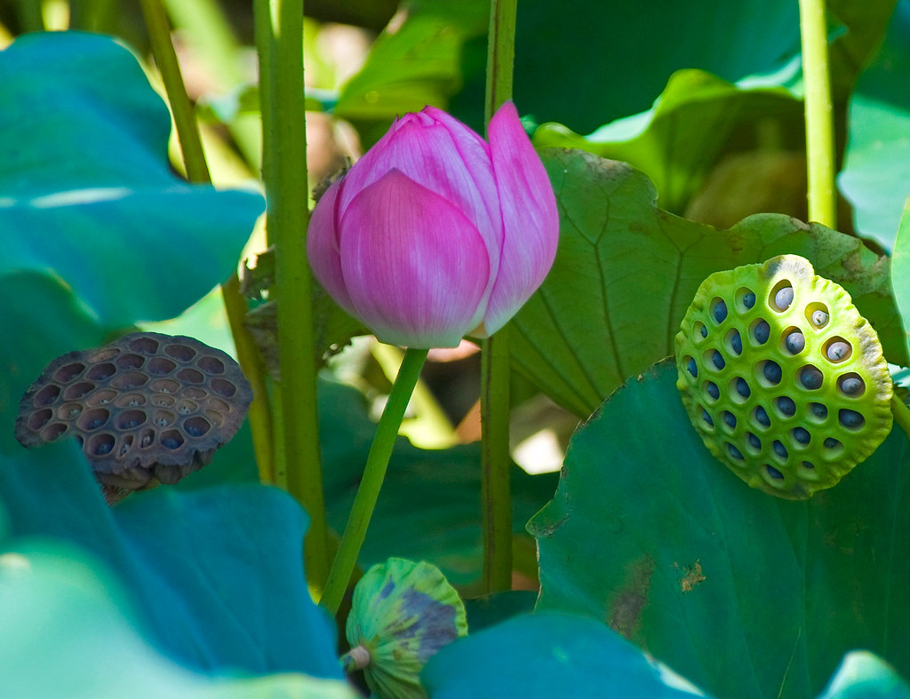Lotus Flower And Seed Pods In Shinobazu Pond Copyright D Flickr