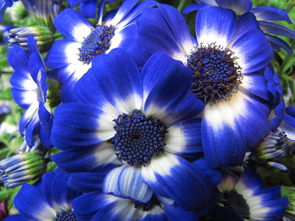 Nature Dose Cool Flowers Blue Of Course I Can Do Blue Fl Flickr
