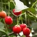 Sour cherries / Cerises Aigres / Visine