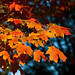 Orange Leaves, November