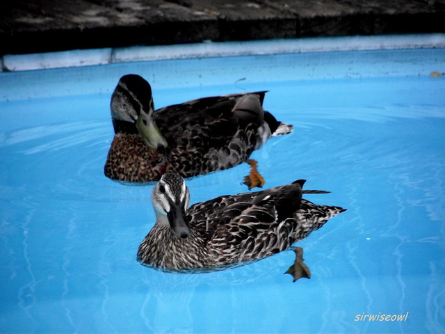 Uninvited Ducks In Our Swimming Pool Question We Have A