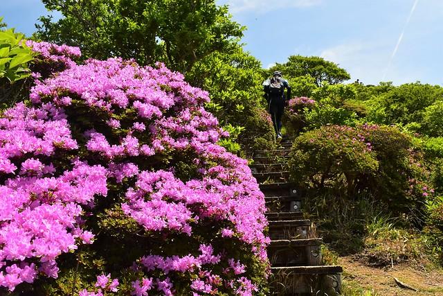 韓国岳 階段脇に咲くツツジ