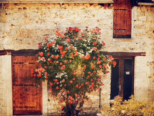 Red roses against a stone wall at a farm in France selling cider.
