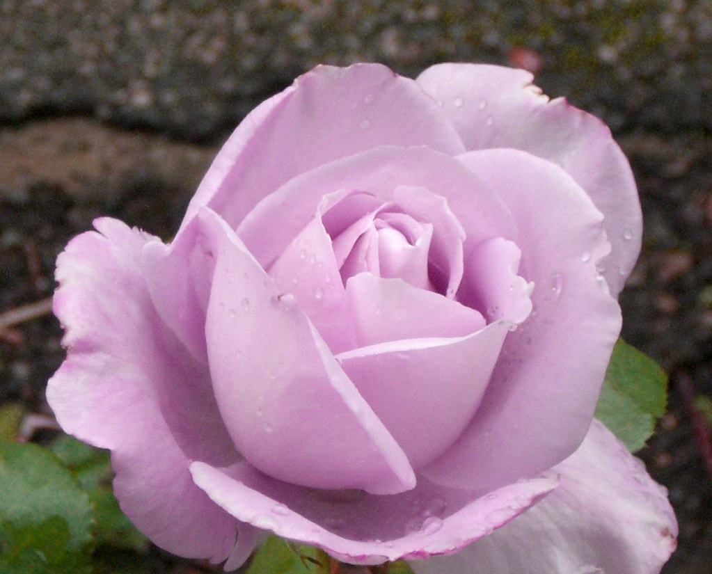 Blue moon rose a rose called blue moon pingpong222 - What are blue roses called ...