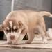 Filhotes de Husky Siberiano - Siberian Husky puppies 10