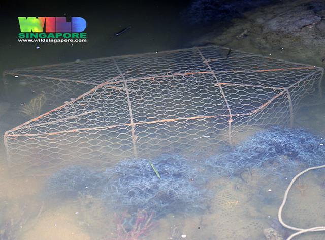Fish trap laid on Changi underwater garden