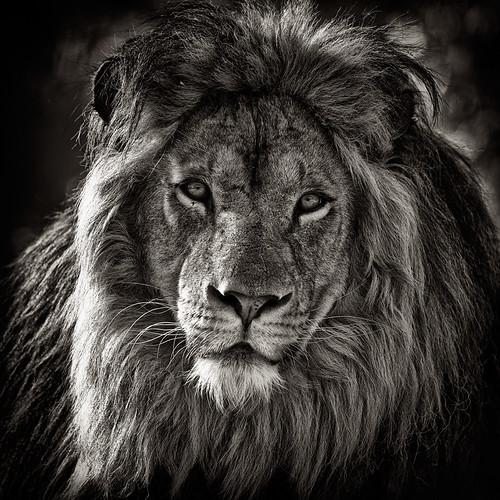 la faune en noir et blanc lion david garnier flickr. Black Bedroom Furniture Sets. Home Design Ideas