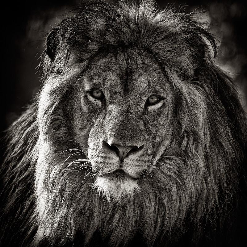 Top Beau Photo Lion Noir Et Blanc #9: Portrait De Lion | Piercings And  XA16