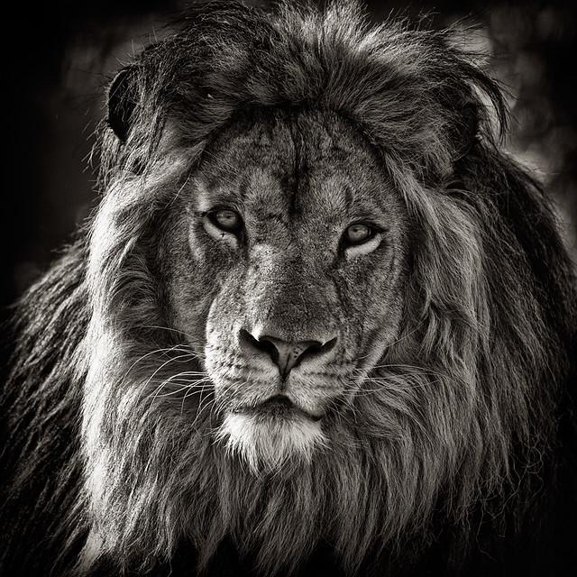 La faune en noir et blanc lion flickr photo sharing - Smiley noir et blanc ...