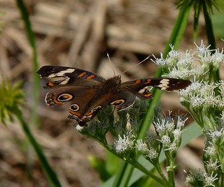 Common Buckeye with Missing Eyespots | by Dendroica cerulea