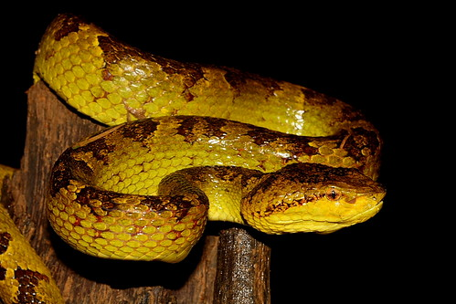 Malabar Pit Viper | by GreatEscapes India