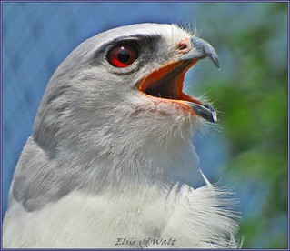 Black-shouldered kite. | by LC's Eye (Wild Images of Africa)