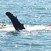 Humpback whale enjoying the Bay  of Islands