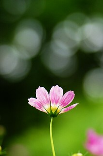 A cosmos in the light | by coco_tsukihime