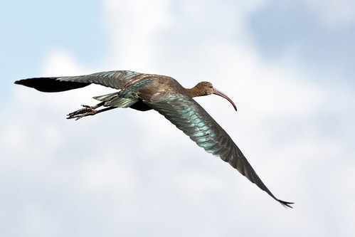 glossy ibis 4 | by alan forder(drumbatter100)