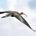 glossy ibis 4