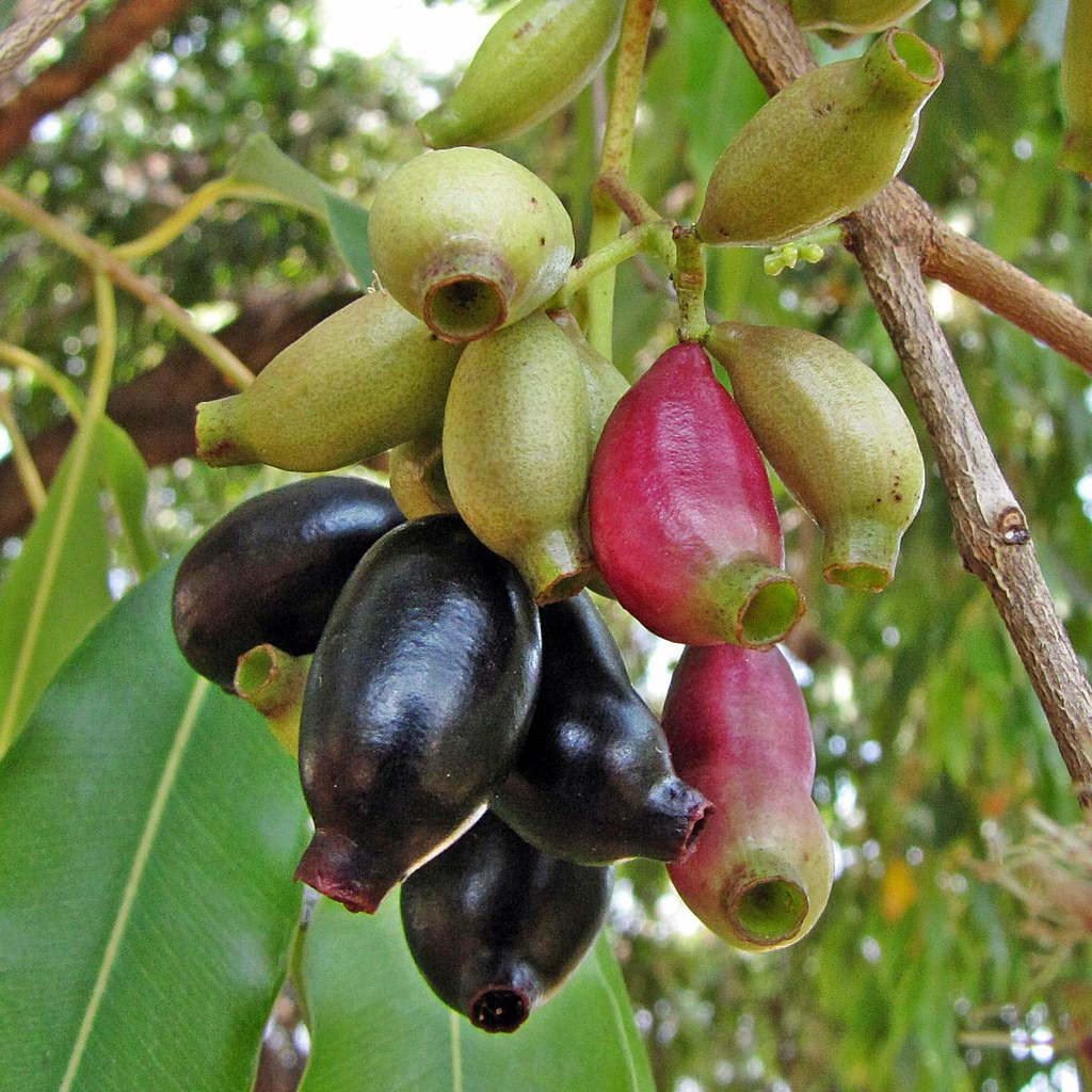 health benefits of syzygium cumini Syzygium cumini or the jambolan is a fast growing tree which does well in a very wide variety of climatic conditions and is found in tropical and sub-tropical climates.