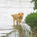 Stray dog in the Danube flood waters