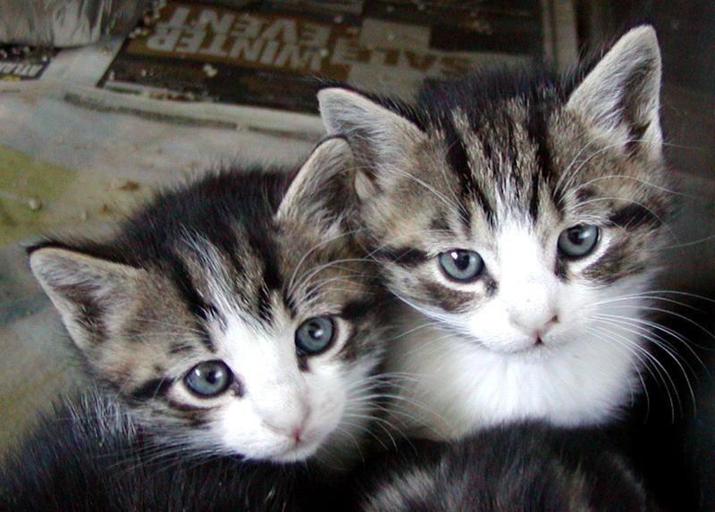 Socializing Feral Kittens Urban Cat League
