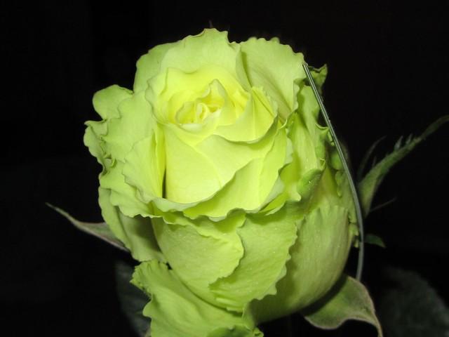 gr ne rose flickr photo sharing