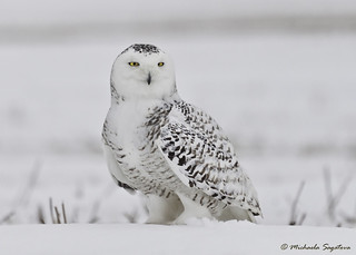 _MG_9731 Snowy Owl | by ~ Michaela Sagatova ~