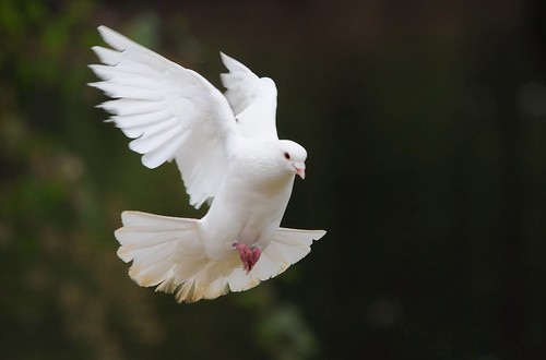 Dove in flight 1 | by Pinball Chris