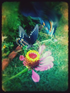 butterfly garden | by gardenymph