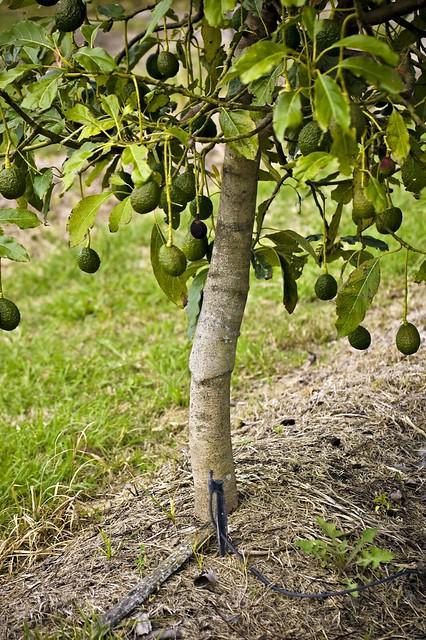 Drip Irrigation Hass Avocado Graft Drip Irrigated Hass