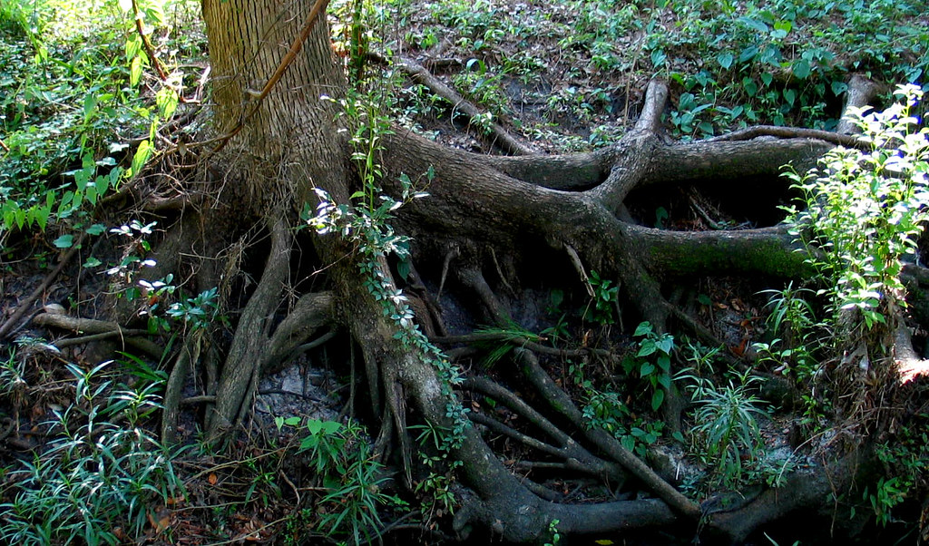 Oak Tree With Roots Hogtown Creek Oak Tree...