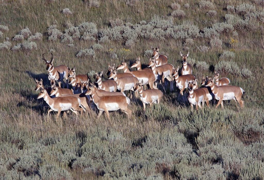 Pronghorn Herd Pronghorn Antilocapra Americana Or