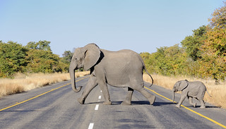 Why did the elephant cross the road? | by jacashgone