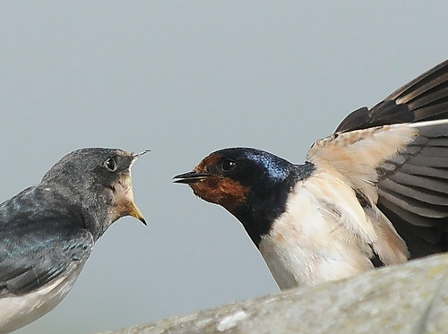 SWALLOWS | by Musicaltone